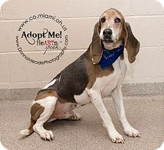 URGENT!!! Troy, OH - Hound (Unknown Type) Mix. Meet Harley a Dog for Adoption.