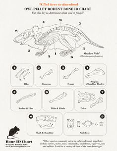 Worksheet Owl Pellets Worksheets check out our new owls and owl pellet worksheets page in the bone chart for dissection resultados de la baosqueda google http