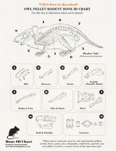 Bone chart for Owl Pellet Dissection  Resultados de la Búsqueda de imágenes de Google de http://natalyazahn.typepad.com/.a/6a0120a63266f6970b017615621172970c-800wi