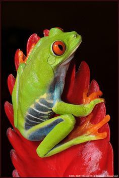 Now ain't this little froggie adorable.. but beware..it may be poisonous..Beautiful Frog