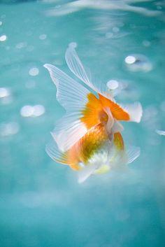 goldfish #japan