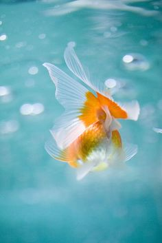 "japanese goldfish ""金魚"""