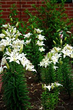 Asiatic Lilies - White