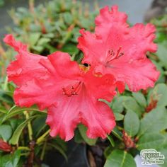 The Rhododendron 'Axel Olsen' is a small-leaved, compact plant with vibrant red flowers appearing in spring. They are perfect for smaller gardens, and are suitable for growing in pots. They are bee-friendly, and will attract pollinators to your garden