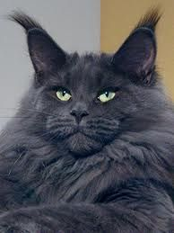 Large blue Maine Coon.