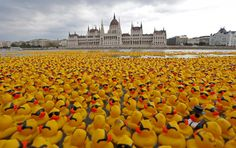 """Almost 52 thousand yellow rubber ducks were launched on August 31st in the water of the Danube, at the height of the building of the Parliament, during the """"Great Rubber Ducky Race 2014"""", a charity event that takes place every year in the Hungarian capital. In recent years the event was held also in London, Luxembourg, Singapore, Taiwan and other parts of the world. The funds raised during the event will be donated to UNICEF to Budapest #tradition #event #budapest"""