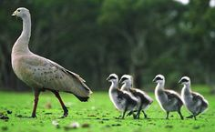 Cape Barren Goose with young