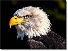 American Eagle Black and White Picture on Stretched Canvas, Wall Art Décor, Ready to Hang