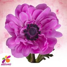Anemones Hot Pink Dark Center Fresh Cut flower.  Features:  ✿ 10 Stems Anemones 40-45cm pack 120 stems ✿ Each stem has a minimum of 1 bloom; some stems may have more than one bloom ✿ Anemones may come in with distinctive Black centers; as the flower opens this center color will fade out. ✿ Anemones are a top-heavy flower and their stems have a natural tendency to bend. In order to achieve an upright straight stem, you may need to wire the stem. Hot Pink Flowers, All Flowers, Bridal Flowers, Fresh Flowers, Bridal Bouquets, Bulk Flowers Online, Flowers Delivered, Diy Wedding, Wedding Gifts