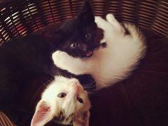 重なり #Cat #Baby #子猫 #黒猫 #白猫