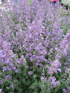 Kattenkruid Nepeta faassenii 'Six Hills Giant' - Kwekersvergelijk Plants, Garden, Cottage Garden, Outdoor, Flowers