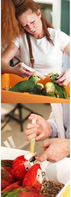 La hora de la papilla es un momento a compartir con nuestro nuevo amigo y no podemos perder la oportunidad de crear los vínculos para nuestra amistad :) Te damos las pautas para cuidar de los más pequeños! http://blog.hagen.es/?p=1117 #polluelos #loros #pájaros #alimentación #tropican #Productos #Mascotas #Pájaros #Aves