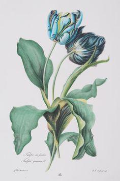 Large Blue Botanical Series (A) Vintage Botanical Prints, Botanical Drawings, Vintage Botanical Illustration, Vintage Flower Prints, Botanical Flowers, Botanical Art, Botanical Gardens, Art Floral, Tulip Drawing