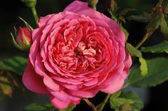 Jubilee Celebration - Englische Rosen