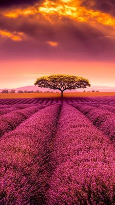 I saw the shelter of the tree among the many flowers of the field.  All flowers that were cultivated into rows with a tree that didn't seem to belong.