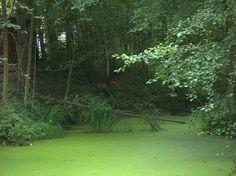 Teich mit Entengrütze