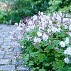 """Geranium x cantabrigiense """"Biokovo"""" med ljust rosa blommor intill mörkröda blad, i detta fallet en alunrot Heuchera """"Rachel""""– en ljuvlig kombo i min halvskuggiga rabatt intill köksträdgården."""