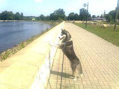 husky Luna in Wąchock