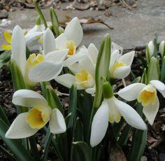 Galanthus 'Das Gelbe vom Ei'