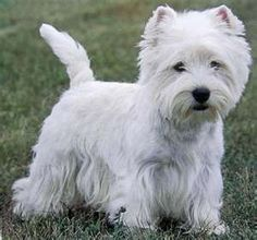 West Highland Terrier. This is what my dog is like when she is clean.