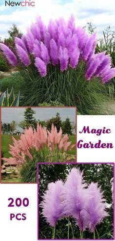 200pcs Pampas Grass Magic Garden Seed Potted Ornamental Plants Cortaderia Selloana Bonsai In 2020 Cortaderia Selloana Plants Garden Seeds