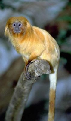 Golden Lion Tamarin's Wisdom Includes:  Monogamy  Ability to fight for survival  Connection to swamps