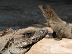 Iguanas in Xel Ha, Mexico
