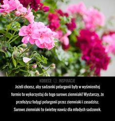 Jeżeli chcesz, aby sadzonki pelargonii były w wyśmienitej formie to wykorzystaj do tego surowe ziemniaki! Wystarczy, że przełożysz łodygi pelargonii ... Garden Plants, Flower Power, Flora, Geraniums, Fur, Health, Plants, Lawn And Garden