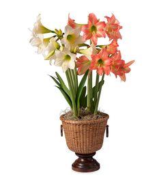 Amaryllis Bulb Garden - Live Plants and Bulb Gardens