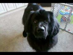 Newfoundland Complaining About Tricks Super funny hahah the dog sure has his own opinion about these demands! :P