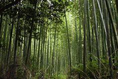 Bamboo Forest | Bamboo Forest in Arashiayama