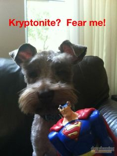 kryptonite vs. schnauzer - yeah, I think I know who'd win :)