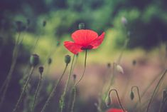 Red poppies by MalgoS