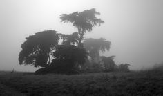 Foggy Pines II - Stand of old pine trees in morning light