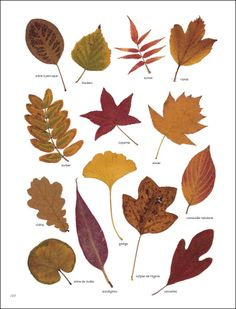 Create a thankful tree with dryed leaves or templates Autumn Art, Autumn Leaves, Impressions Botaniques, Tree Identification, Illustration Botanique, Nature Journal, Tree Leaves, Leaf Art, Leaf Shapes