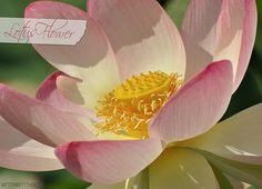 Lovely lotus flower shots