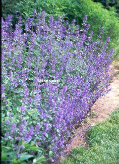 NEPETA \'Six Hills Giant\' Facile à cultiver. Tailler de moitié après la floraison pour en obtenir une deuxième