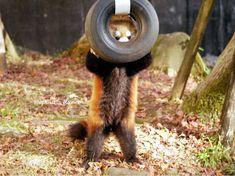 Please follow #iloveredpandas Peek a boo #redpanda #panda #cutebear #bear #animal #firefox #panda #pandabear Cute Bear, Peek A Boo, My Spirit Animal, Make Me Smile, Cute Animals, Red Pandas, Racoon, Puppies, Fun Stuff