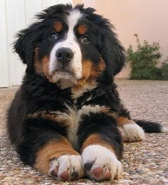 This Bernese Mountain Dog is so cute as it stretches out! #puppy
