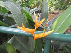 I think this is a bird of paradise