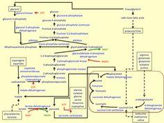 glycolysis glycogenesis glycogenolysis gluconeogenesis chart - Google Search