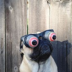 They have awesome senses of humor. | 18 Reasons Why Pugs Are The MF Thugs