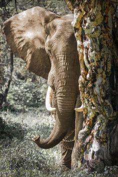 'Elephant behind the tree' von martin buschmann bei artflakes.com als Poster oder Kunstdruck $20.79