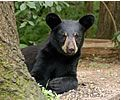 You want to see PLENTY of bears up close and personal? Visit The Vince Shute Wildlife Sanctuary. Orr, MN