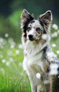 Merle Aussie with perked ears