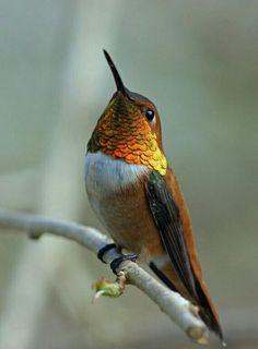 Rufus Hummingbird www.dierenplaza.nl