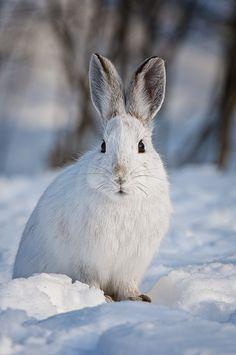 ☀Snowshoe Hare