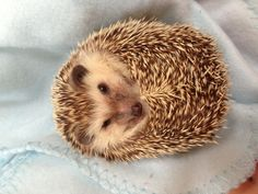A hedgehog is any of the spiny mammals of the subfamily Erinaceinae, which is in order Erinaceomorpha. There are found in Europe, Asia, Africa and New Zealand (by introduction). There are no hedgehogs native to Australia, nor the Americas. Hedgehogs share distant ancestry with shrews, with gymnures possibly being the intermediate link, and have changed little over the last 15 million years. Like many of the first mammals they have adapted to a nocturnal, insectivorous way of life.
