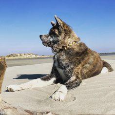 Big walk in Camargue  #puppy #naokoakitainu #dog #paws #chien #pawsfriend #akitainu #akita #akitainudogs #akitainudog #akitainucute #japaneseakitainu #akitadogs #akitasofinstagram #akitapuppy #akitaworld #akitalovers #akitalife #akitapics  #akita_inu #animal #animals #dogs #cute #doglover #akitacutepuppy #dog_features Akita Puppies, Cute Puppies, Japanese Akita, Naoko, Enjoying The Sun, Dog Paws, Inu, Dog Lovers, Adventure