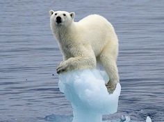 Polar Bears Global Warming. http://www.animalmayhem.com/polar-bears-and-global-warming/